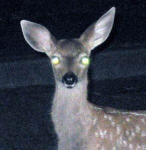 deer in